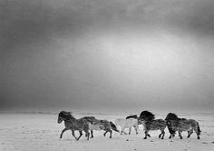 Icelandic horses in an Icelandic storm.