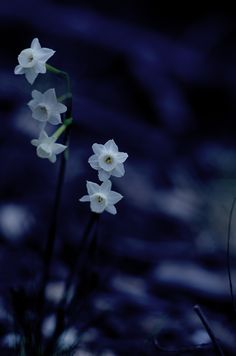 "icardamome: "" Tiny daffodils in blue """