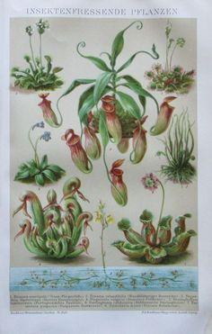 1894 INSEKTENFRESSENDE PFLANZEN Original Druck antik antique print Chromotafel | eBay