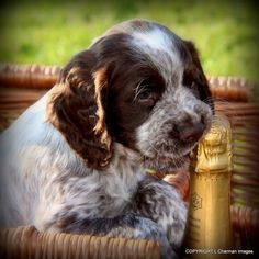 Chocolate Roan Cocker Spaniel Puppy, Champagne, Basket...adorable
