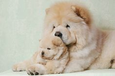 chows! Hermosos