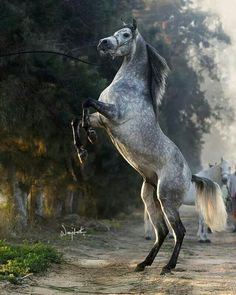 Beautiful horse rearing up. Gorgeous grey coloring with dapples.