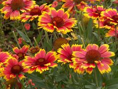 Blanket Flower, Indian Blanket, Gaillardia Gaillardia aristata