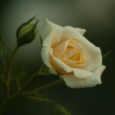 Yellow rose by mariansromania