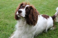 french spaniel | French Spaniel face wallpaper