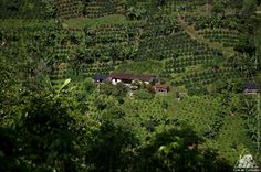 Most of the houses where the Colombian coffee growers live, are in the middle of their coffee crops, that way they can take care of them all the time.