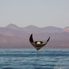 Photo by @BrianSkerry Happy World Oceans Day! A mobula ray leaps from the water in Mexico's Sea of Cortez. Photographed on assignment for @natgeo. @thephotosociety #worldoceansday #Padgram