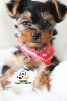 Available Micro Teacup Yorkies* Toy Yorkie Puppies* Yorkie Terrier Puppies *Parti Yorkie Puppies *Chocolate Yorkie Puppies *Merle Yorkie Puppies *Socal Yorkie Teacup Puppies Yorkie Breeders, Toy Yorkie, Teacup Yorkie, Teacup Puppies, Puppies Near Me, Toy Puppies, Terrier Puppies, Dogs And Puppies, Bull Terriers