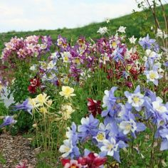 """Columbine Seeds - """"McKana Giant Mix""""McKana Giant Columbine Seeds grow beautiful blooms in radiant hues of red, white, yellow and purple.  Our McKana Giant Columbine Seed Mix will liven up any garden, meadow or flowerbed; plus, they make a lovely bouquet! McKana Giant Columbines stand 2 to 3 feet high and produce buttercup shaped flowers that are 3 to 4 inches across. Elite gardeners chose McKana Giants!"""