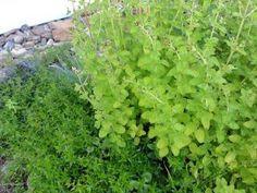 Jak si doma vyrobit bylinkový ocet nebo olej | recept | jaktak.cz Parsley, Plants, Plant, Planets