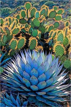 Opuntia and Agave
