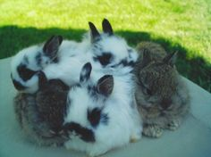 How to take care of your pet rabbit or show rabbit.