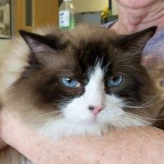 Buffy--Purebred is an adoptable Ragdoll Cat in Ennis, TX.  Buffy is an awesome Seal Bi-Color Ragdoll, purebred, 10 years old. She is absolutely precious, a bit on the pudgy side. She is absolutely pre...