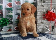 Buy Cheap Goldendoodle Puppies for Sale near me Goldendoodle Puppy For Sale, Labradoodle, Puppies For Sale, Buy Cheap, Retriever Puppy, Golden Retrievers, Cute Dogs, Cute Animals, Doodles