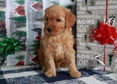 Buy Cheap Goldendoodle Puppies for Sale near me Goldendoodle Puppy For Sale, Labradoodle, Retriever Puppy, Puppies For Sale, Buy Cheap, Cute Dogs, Cute Animals, Golden Retrievers, Doodles
