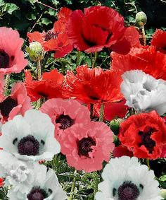 Poppy Collection - Set of Six