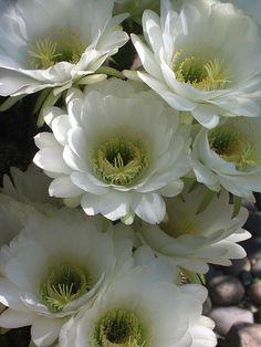 Some kind of lovely white flowers Amazing Flowers, White Flowers, Beautiful Flowers, Moon Garden, Dream Garden, Bloom Blossom, White Gardens, Cactus Flower, Flower Pictures