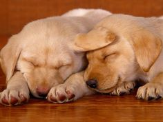 Two Yellow Labrador Puppies Sleeping