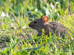 20190525 Four-Striped Mouse (Rhabdomys pumilio) in Tygerberg Nature Reserve Wildlife Photography, Animal Photography, Cape Town South Africa, Nature Reserve, Mammals, Commercial, Van, Photos, Pictures