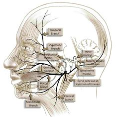 Find out more about the medical management strategies of facial nerve palsy and Bell's palsy. Dental Anatomy, Medical Anatomy, Facial Nerve Anatomy, Anatomy Head, Nerve Palsy, Anatomy Images, Craniosacral Therapy, Cranial Nerves, Human Anatomy And Physiology