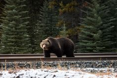 Grizzly, Canada