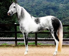 Gray tobiano Mangalarga Marchador stallion, Emblemático da Conquista. This horse is gorgeous!
