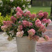 Fire Light™ - Hardy Hydrangea - Hydrangea paniculata | Proven Winners