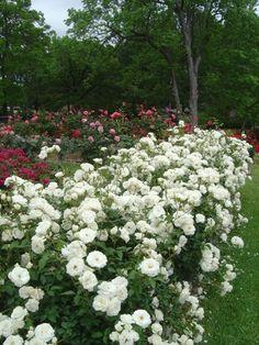 The Tyler Rose Garden, Tyler Texas Landscaping With Roses, Garden Landscaping, Love Flowers, Wild Flowers, Beautiful Landscapes, Beautiful Gardens, Fall Harvest Decorations, Rose Nursery, Gardening Photography