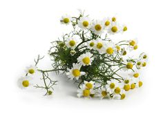 Chamomile is one of the most well-known herbs. It is widely available in tea form, but it can also be made into capsules,tinctures, or used in cosmetic applications. Chamomile flowers are mildly sedative, making them wonderful for improving sleep quality and relaxation. Ways to Use Chamomile:    As an herbal