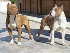 Beautiful Red Nose Pitbulls ♥