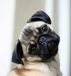 Loads more Pug per gallon. Funny Pug vines of 2014 part 2 Best Funny Pug Vines of 2014 Part 2 Loads more Pug per gallon. Funny Pug vines of 2014 part 2 Pug Love, I Love Dogs, Funny Animals, Cute Animals, Pugs And Kisses, Pug Pictures, Pug Puppies, Cute Pugs, Animals Beautiful
