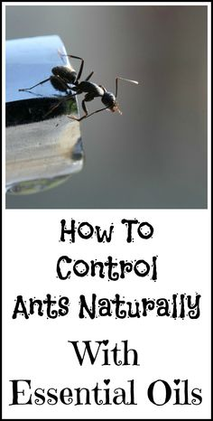 How to control ants naturally with essential oils and Borax.