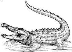 Crocodile hunter coloring pages ~ 1940's Alligator Anatomy Drawing Print   Alligators ...