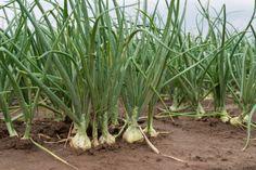 Личный опыт: выращиваем репчатый лук | Огород | Дача | Аргументы и Факты