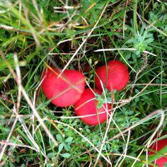 Small vivid red fungi at Clumber park