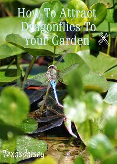 How To Urban Garden I absolutely love watching colorful dragonflies dip and dance around my pond. They are wonderful assets to my garden because of their vo. - Learn how to attract dragonflies to your garden. Garden Bugs, Garden Insects, Garden Pests, Garden Tools, Edible Garden, Garden Hose, Kew Gardens, Outdoor Gardens, Water Gardens
