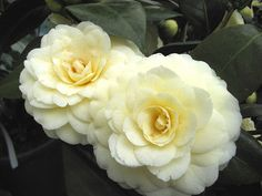 """Yellow Camellia japonica symbolize sentiments of """"longing"""" in Japanese culture."""