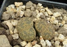 Lithops lesliei ssp. lesliei v. lesliei C033