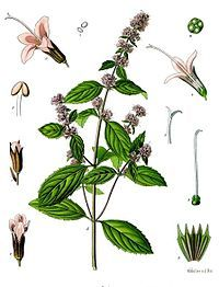 Peppermint - Wikipedia, the free encyclopedia Μέντα