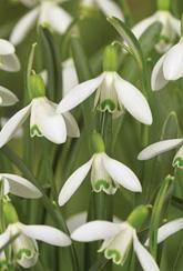 Galanthus nivalis - snowdrops- Bulbs