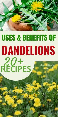 DANDELION USES & BENEFITS. Check out this simple guide to the benefits & amazing dandelion uses. Plus, over 20 recipes! Dandelion Uses, Dandelion Recipes, Dandelion Benefits, Dandelion Plant, Cold Home Remedies, Natural Health Remedies, Herbal Remedies, Healing Herbs, Medicinal Plants