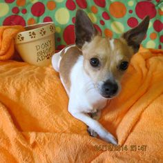 Meet Boy Toy Billy New England CM a Petfinder adoptable Chihuahua Dog | Providence, RI | Adoption Donation: $299  Located: New EnglandWeight: 8lbs   DOB: 8/15/12Contact: Cathie -...