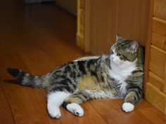 CyBeRGaTa - Cats, Memes, New Mexico - Maru wants you to draw him like one of those...