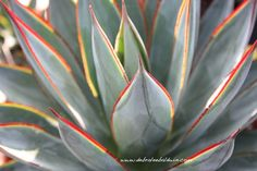 agave blue flame variegated - Google Search