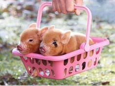 Piggys in Pink Basket
