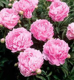 Peony 'Vivid Rose' - Popular late blooming double of vivid, shimmering, deep pink.