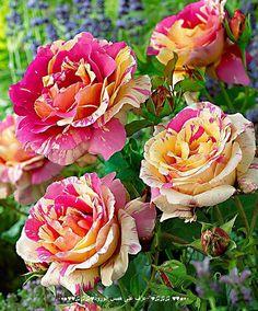 rosas mescladas