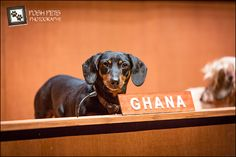 Dachshund UN, a performance art piece by Australia Bennett Miller that depicts the UN council with real live doxies as the delegates! More pics here!