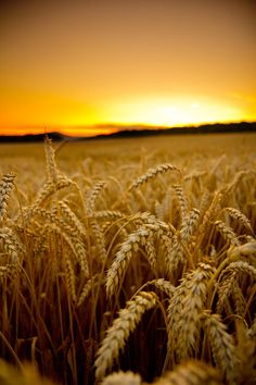 There is something so beautiful about shimmering wheat fields dancing with the…