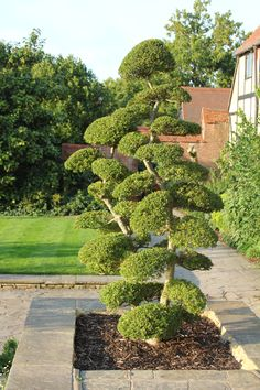 Cloud pruned Buxus at Wisley